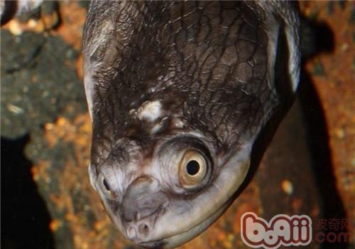 巨蛇颈龟的喂养要点
