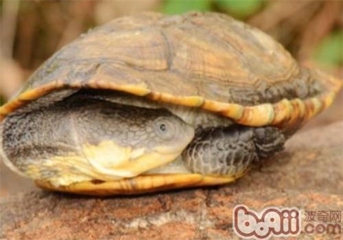格 巨头蛇颈龟多少钱一只 巨头蛇颈龟好养吗 波奇宠物品种大全