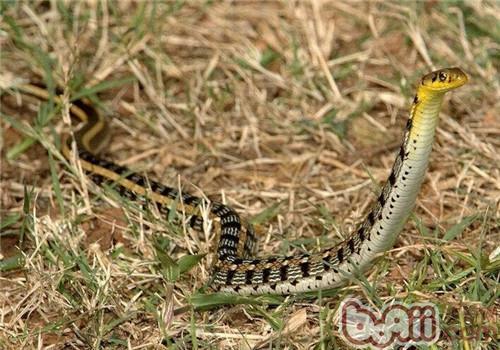 王锦蛇的繁殖方式为卵生,通常在每年的7月份左右产卵,每次产卵5
