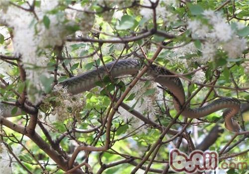 乌梢蛇的形态特征