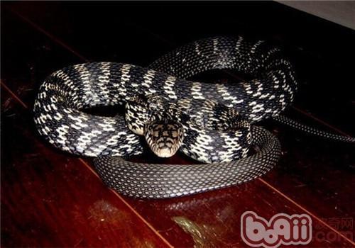 王锦蛇的生活环境