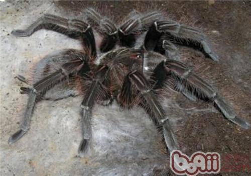 委内瑞拉粉红脚捕鸟蛛的品种简介