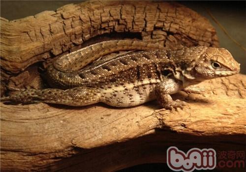 纹面弹簧蜥的生活环境