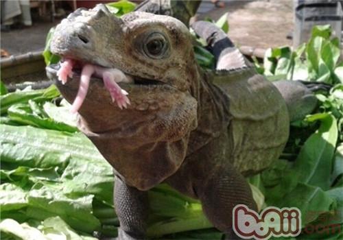 犀牛鬣蜥的品种简介