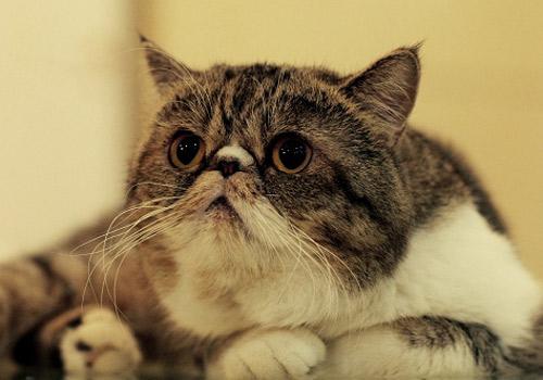 如何鉴别异国短毛猫