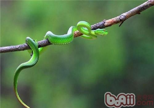 西藏竹叶青蛇的饲养知识