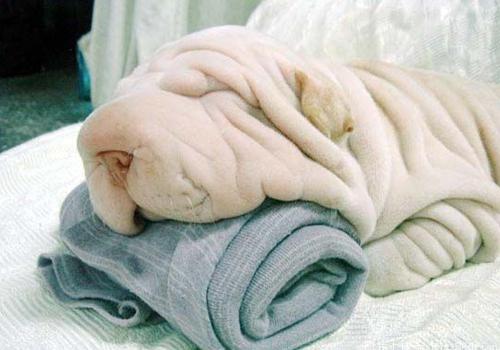沙皮狗有没有毛