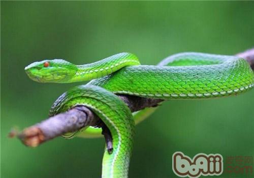 西藏竹叶青蛇的形态特征