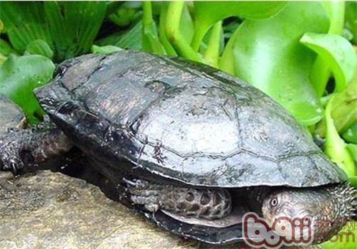 格 黑腹刺颈龟多少钱一只 黑腹刺颈龟好养吗 波奇宠物品种大全