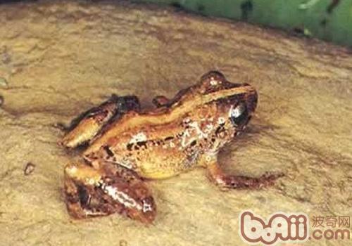 棕雨蛙的品种简介