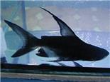 成吉思汗鱼的品种介绍