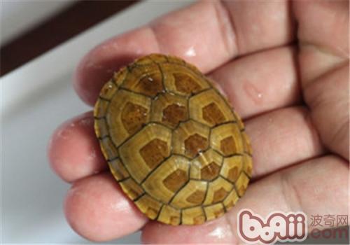 紅面泥龜的品種簡介