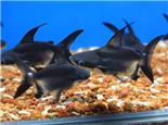 成吉思汗鱼的饲养环境