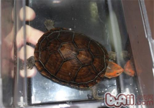 红面泥龟的饲养要点