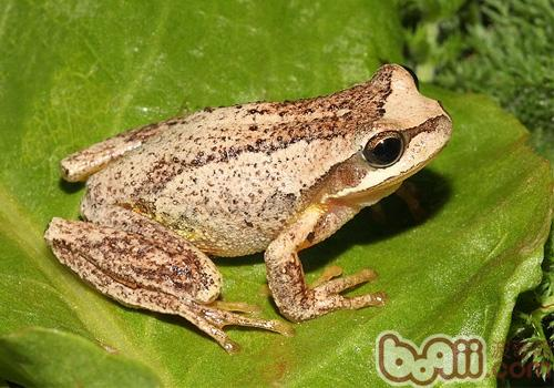 棕树蛙的护理知识