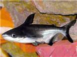 成吉思汗鱼的外形特点