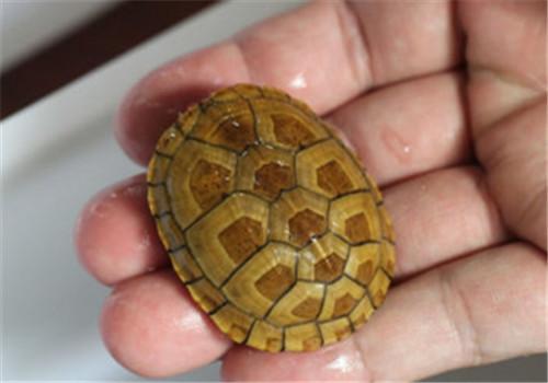 品种 简介/红面泥龟的品种简介