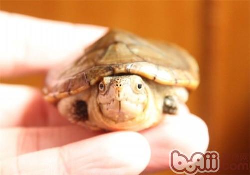 哈雷拉泥龟的饲养方法