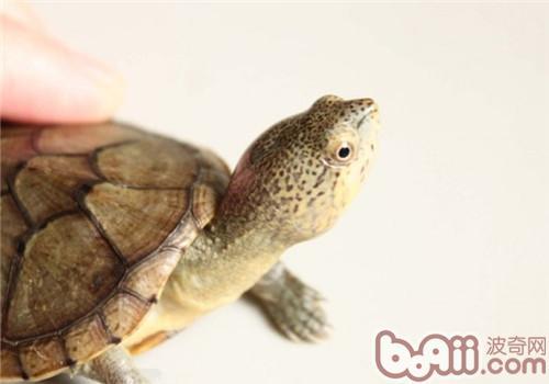 哈雷拉泥龟的形态特征