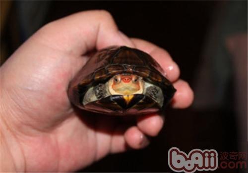 紅面泥龜的形態特征
