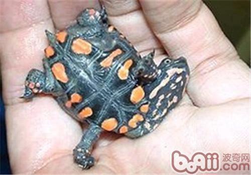 黑腹刺颈龟的护理知识