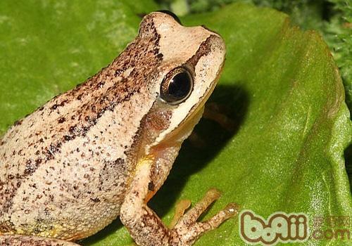 棕树蛙的喂食要求