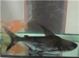 成吉思汗鱼的喂食要点