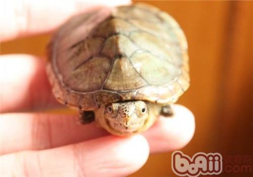 哈雷拉泥龟的生存环境