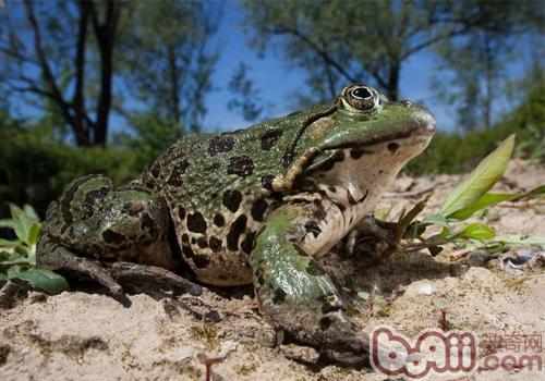 泽蛙的品种简介