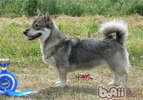 瑞典柯基犬的品种简介