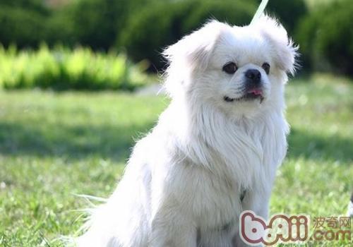 西藏猎犬品种简介