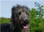 蘇格蘭獵鹿犬的品種簡介