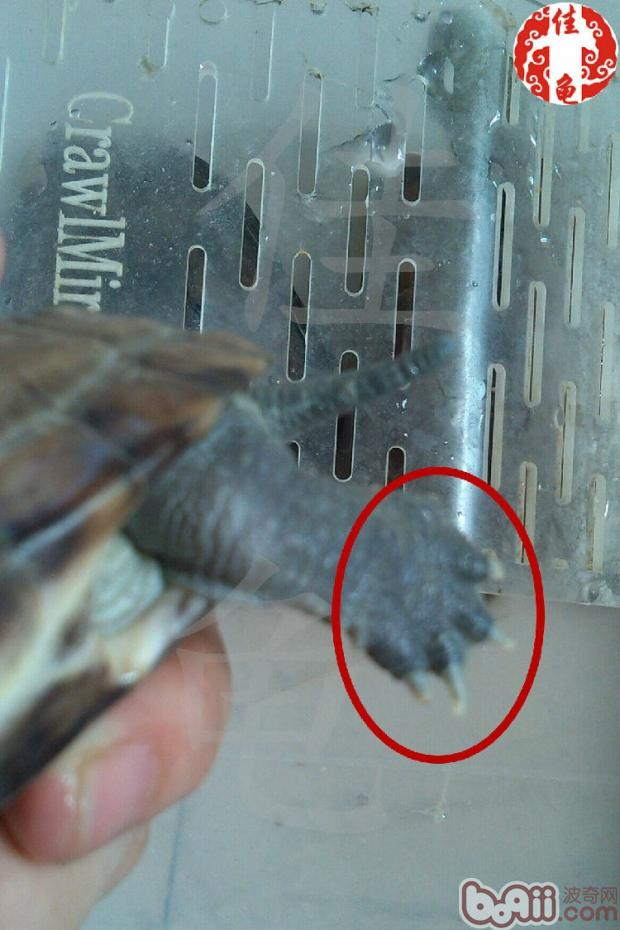 宠物龟钩爪(指甲和趾甲)的护理