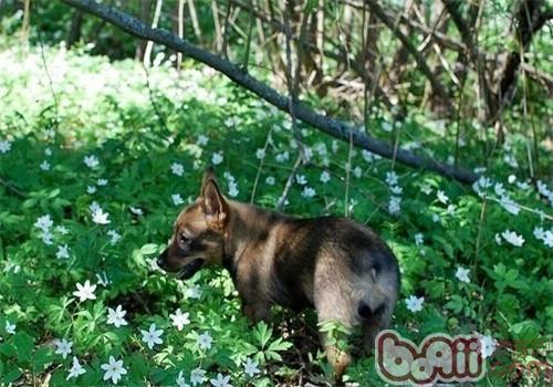 瑞典柯基犬的饲养要点