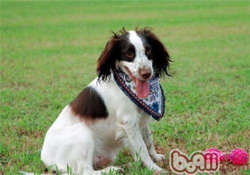 威尔士史宾格犬的护理常识