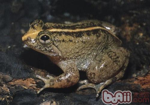 泽蛙,泽蛙价格,泽蛙多少钱一只,泽蛙好养吗_波奇宠物