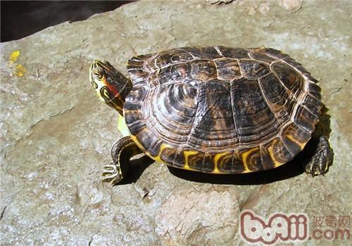 黄肚红耳龟的饲养环境
