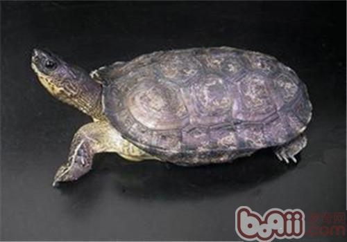 黑木纹龟(详情介绍)-黑木纹龟的品种简介