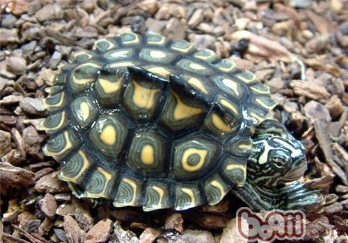 黄斑地图龟的外形特征