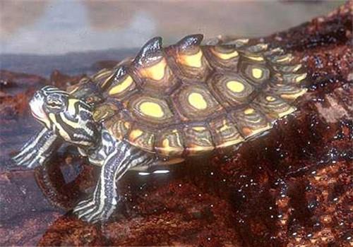 宠物乌龟吃什么 宠物乌龟 宠物乌龟的种类