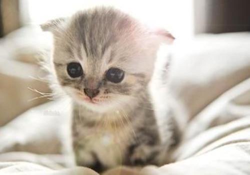折耳猫遗传疾病有哪些