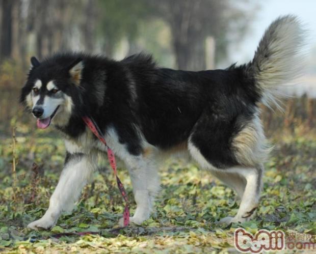 阿拉斯加雪橇犬吃什么