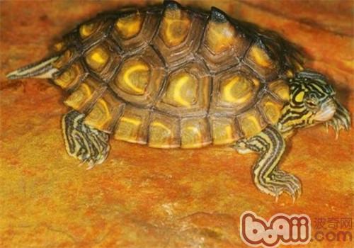 黄斑地图龟的品种简介