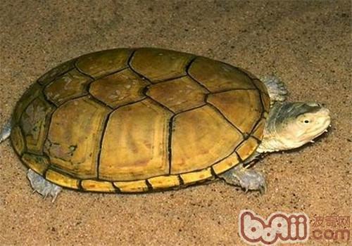 黄泥龟的生活环境