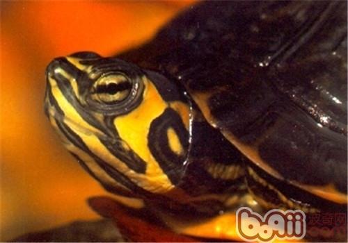 黄肚红耳龟的外貌特征