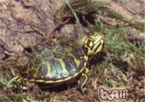 黄肚红耳龟吃什么比较好