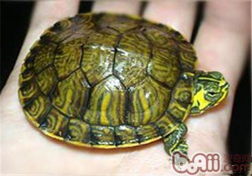 黄肚红耳龟的护理要点