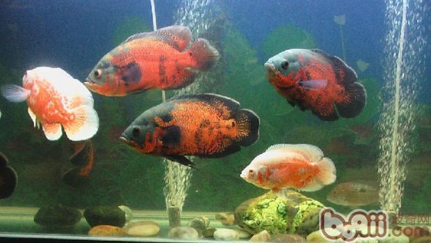 地图鱼的饲养环境