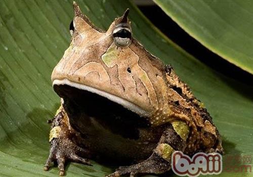 亚马逊角蛙形态特征
