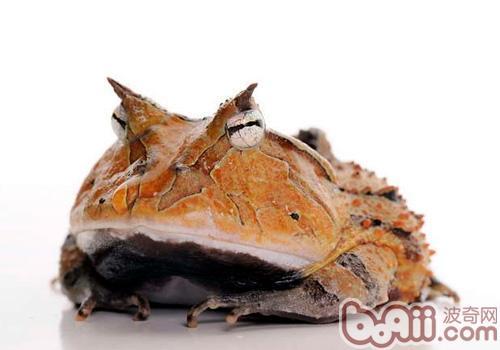 亚马逊角蛙的饲养要求